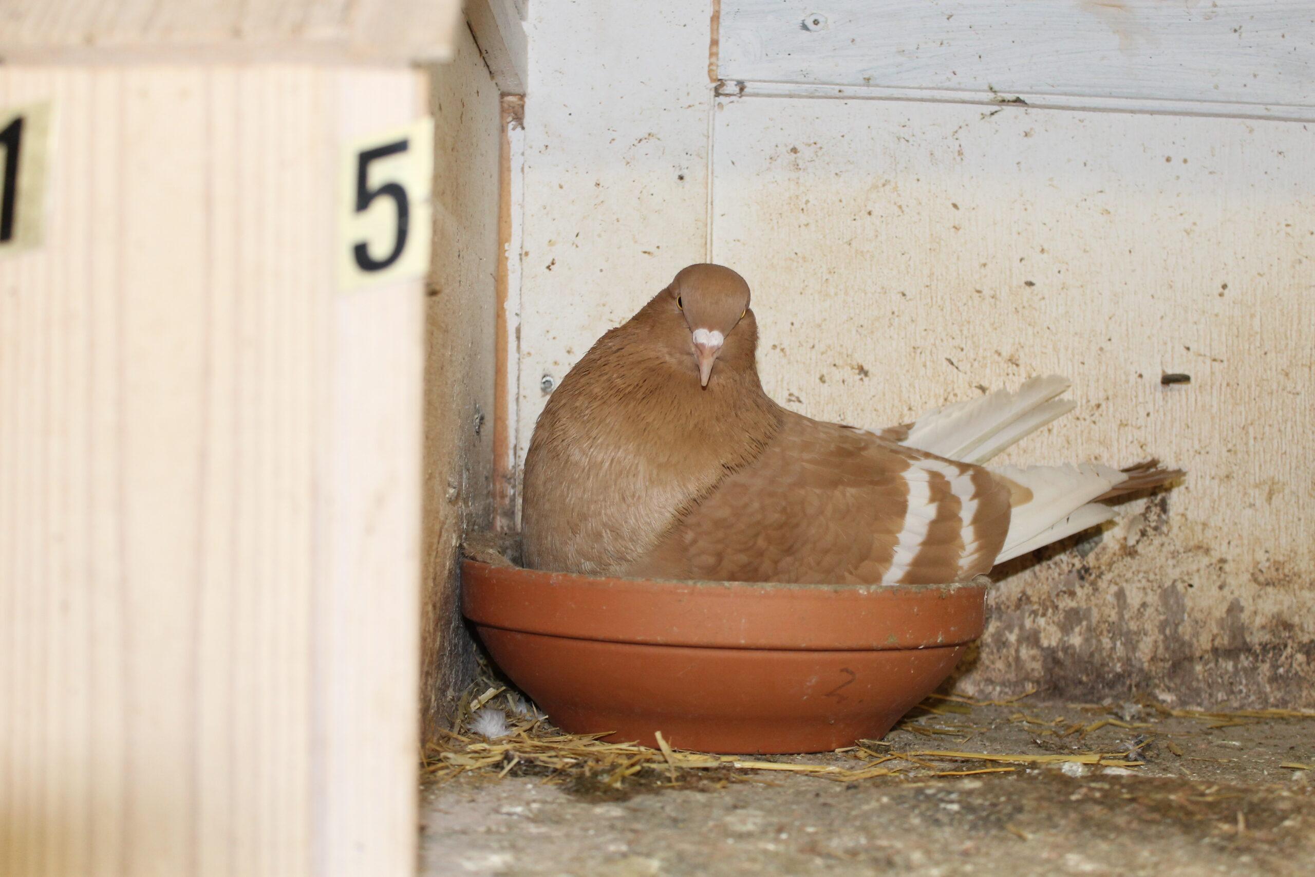 CB Rød due